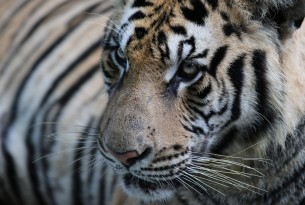 A tiger close up