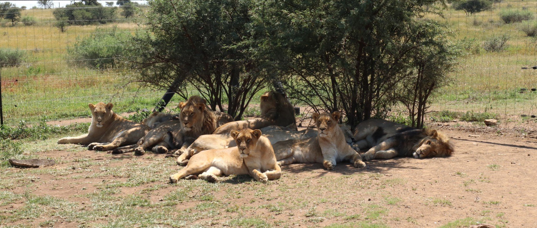 Lions at a venue in South Africa offering petting and interaction with big cats.