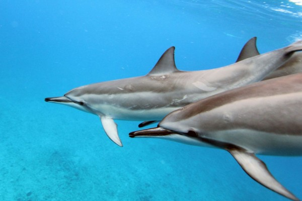 Dolphins off the west coast of Hawaii - Sea Change - Global Ghost Gear Initiative - World Animal Protection