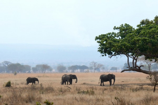 A row of elephants in Mikumi National Park