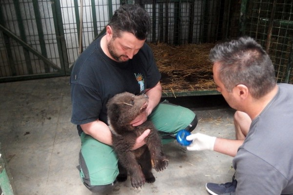 Florin Tiçușan, Libearty bear sanctuary manager, looking after a newly rescued bear cub. He is holding her still while a vet examines her.