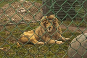 Lion in small, barren enclosure