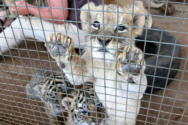 A caged lion and tiger cub.