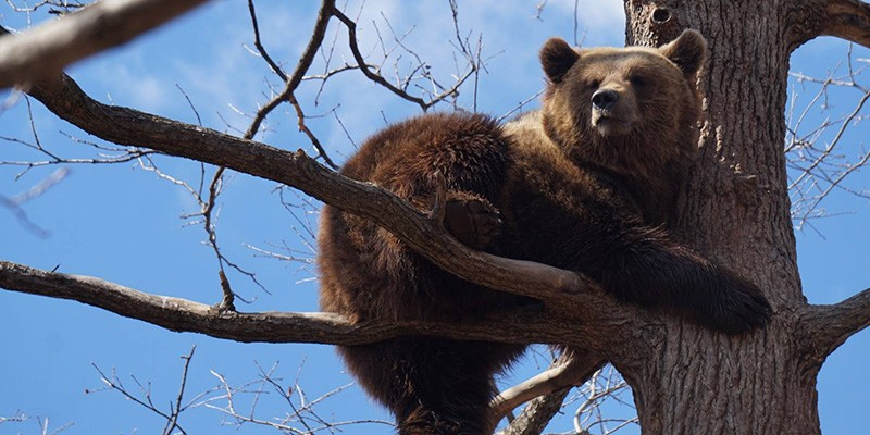 A brown bear sitting on a tree branch. There are no leaves and the sky behind the bear is a bright blue.