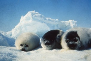 Victory for seals: EU ban on seal products upheld after appeal