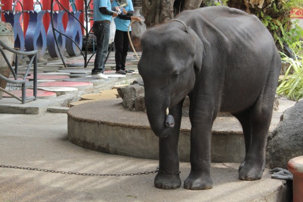 A baby elephant in Phuket zoo. Babies like this will have been subjected to the cruelty of 'the crush'