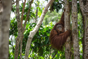 The Badak Kecil Island Orangutan Sanctuary is now open