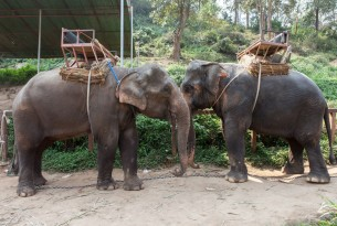 Elephants facing each other with saddles on their backs at a tourist attraction - Unite for the herd - World Animal Protection