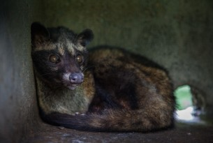 "A caged civet cat at a ""Luwak\"" coffee farm in Tampaksiring, Bali, Indonesia"