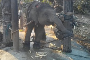 Chained elephant