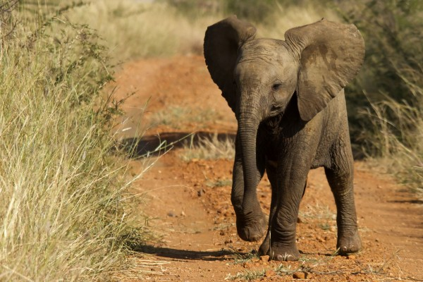 An African baby elephant in the wild