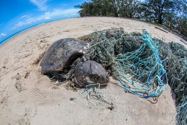 Turtle caught in ghost gear - World Animal Protection