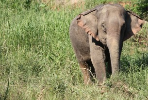 A wild Asian elephant in the grass - World Animal Protection - Wildlife. Not entertainers