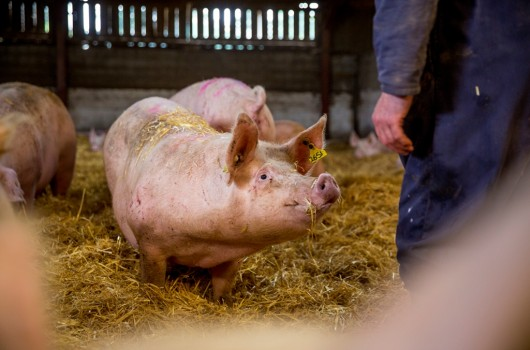 An example of good animal welfare practices at an indoor pig farm in the UK
