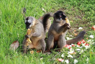 Lemurs in Madagascar after Cyclone Ava - World Animal Protection - Animals in disasters
