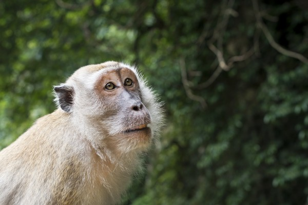 A male long-tailed macaque in the wild in Malaysia