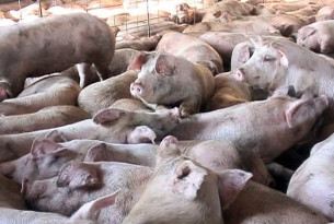 Pigs crowded together during transport.