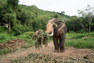 End of the ride: Thailand's changing attitude to captive elephant tourism