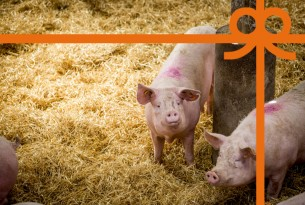 eCard: Give pigs a life