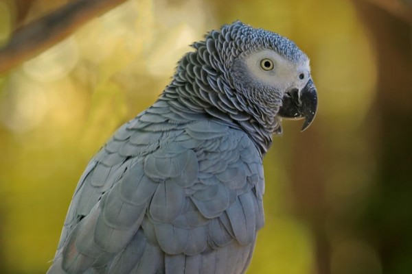 African grey parrot in the wild - Credit: Jurgen and Christine Sohns / Getty Images