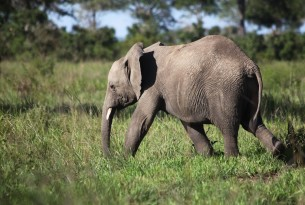 A young elephant in Mikumi National Park, Tanzania