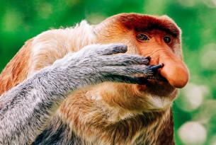 WAP-proboscis-monkey-homepage-landing-page-mobile-600x400