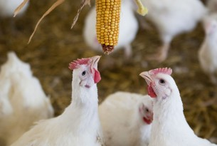 New hope for 40 billion chickens factory farmed every year