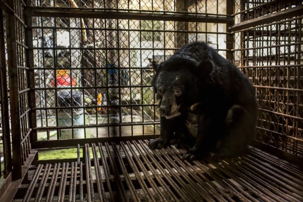 Asiatic black bear in small cage in Vietnam