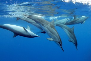 Spinner dolphins swim freely in the ocean