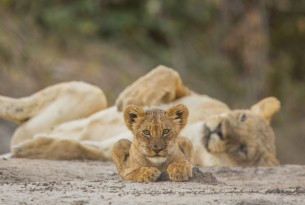 Online travel site Your African Safari ends sale of tickets to cruel wildlife attractions