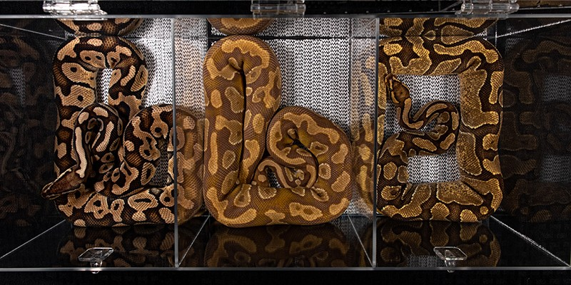 Pythons being sold at a reptile fair in the USA. They are kept in small plastic tubs where they aren't able to fully stretch their bodies.