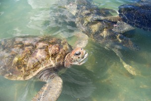 Recent poll for turtle meat in the Cayman Islands shows limited demand