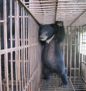 A bear cub in a farm in Phuc Tho, Vietnam - World Animal Protection