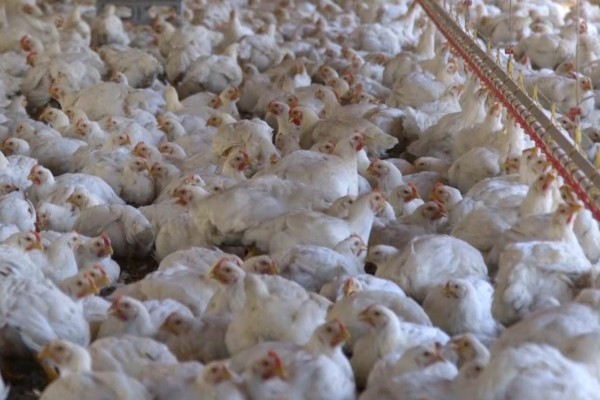 43 day broiler chickens in a caged farming system - World Animal Protection - Change for chickens