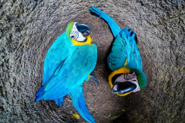 Newborn blue-and-yellow macaws in their nest - World Animal Protection