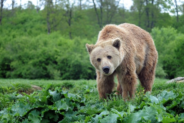 A brown bear in greenery at a sanctuary