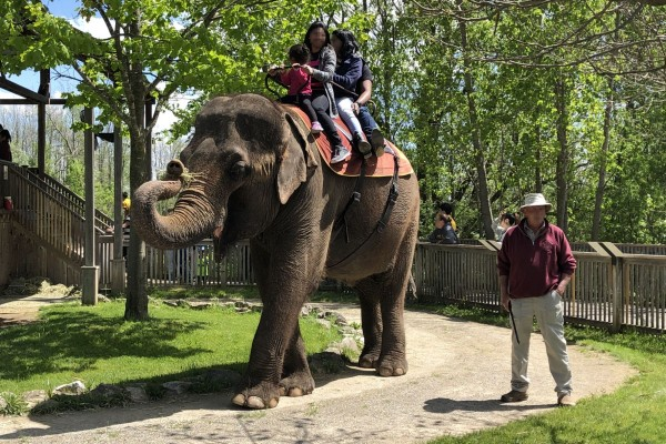 Elephant riding offered at African Lion Safari on June 2, 2019. Photo: World Animal Protection