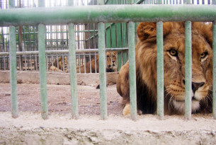 Lion behind bars.