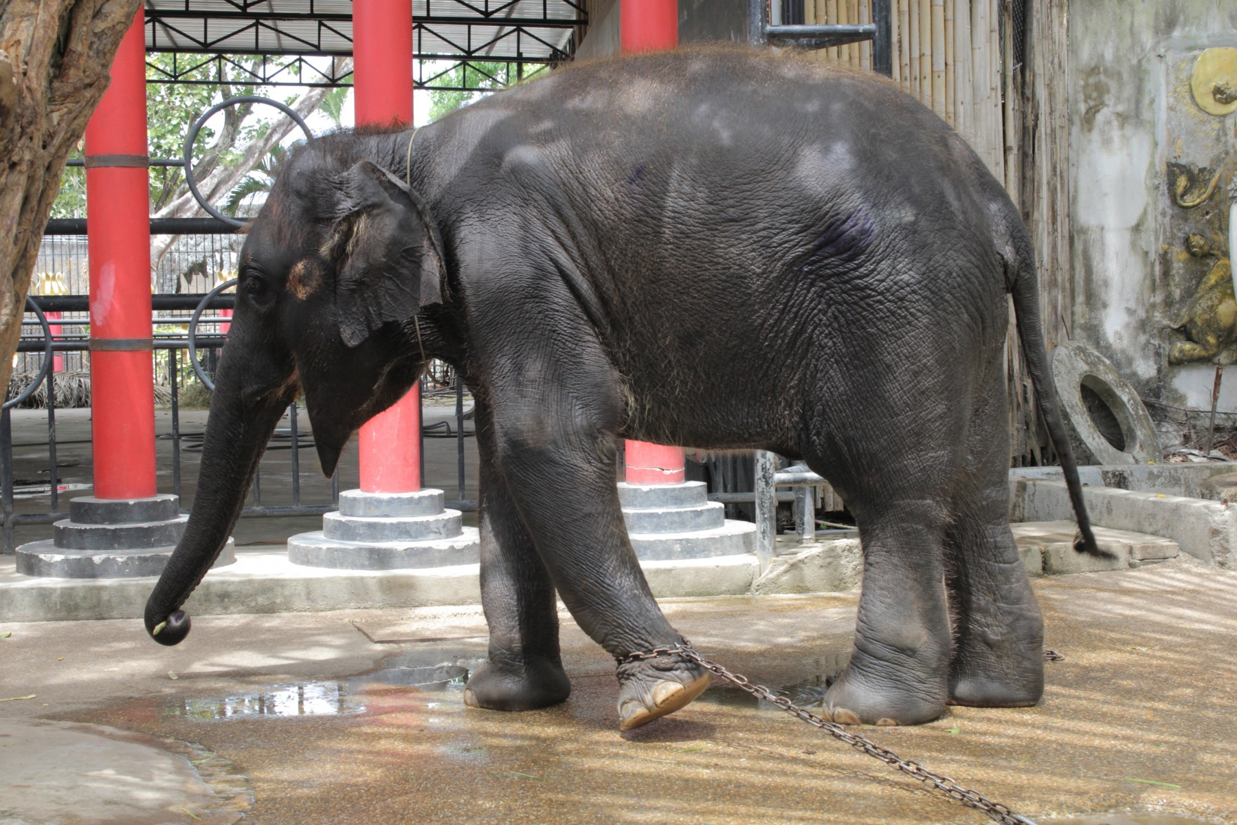 Pictured: An elephant kept in chains.