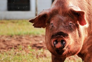 7 facts you may not know about pigs