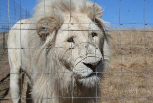 One of the 6,000-8,000 lions held captive in South Africa. Credit: Anonymous, Blood Lions
