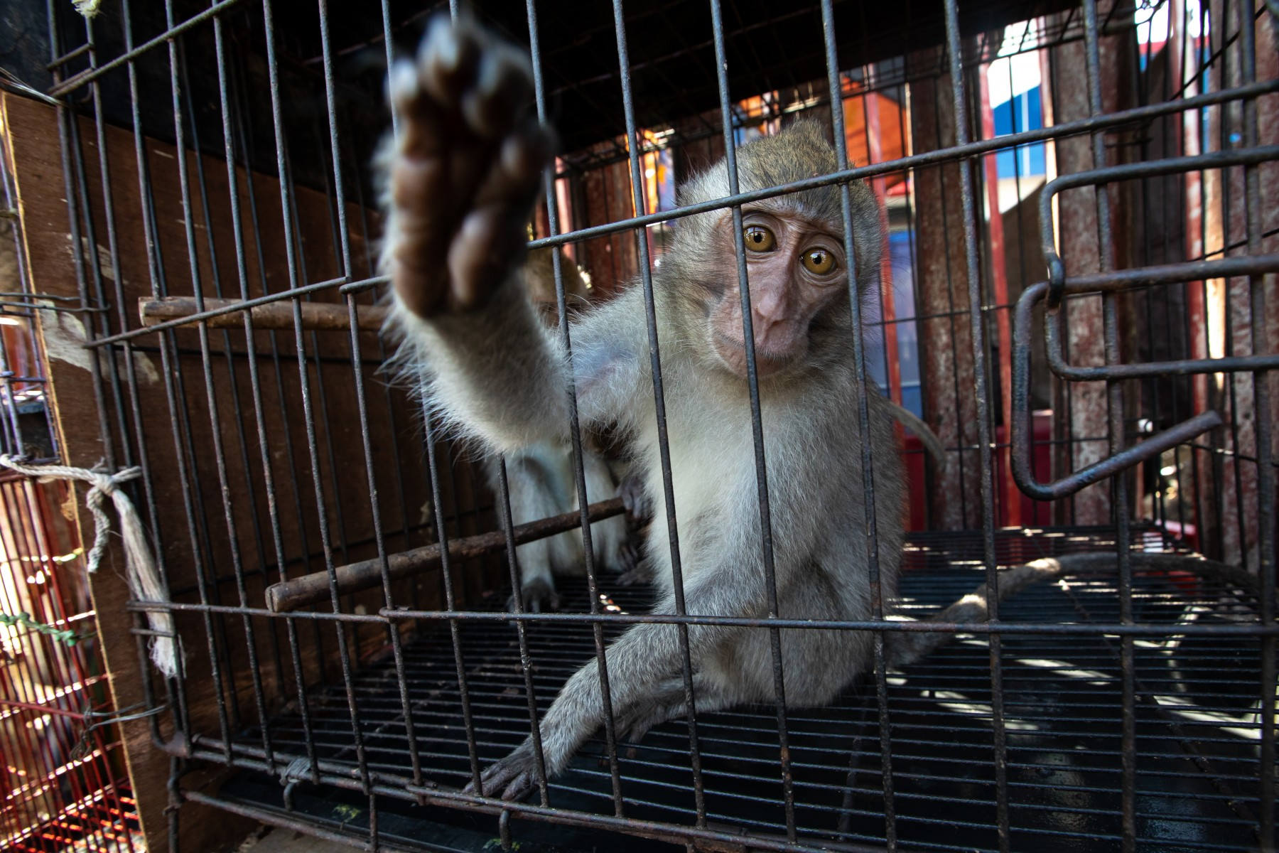 A macaque at a market in Jakarta, Indonesia. Credit Line: World Animal Protection / Aaron Gekoski