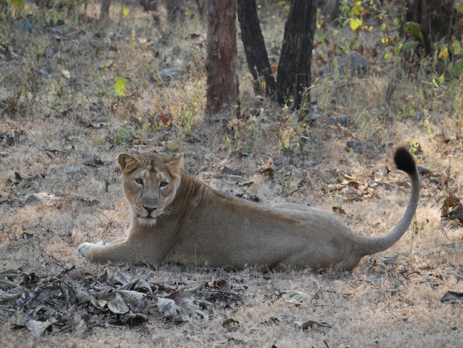 Gir Lioness by Suuny Shah