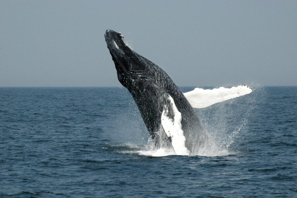 A humpback whale breaching off the coast of Massachusetts