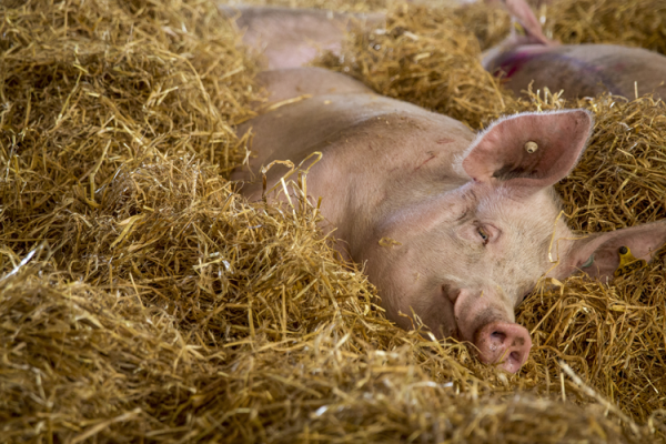 A pig at an indoor pig farm in the UK in group housing