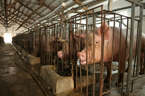 Pictured: Female breeding pigs kept in sow stalls