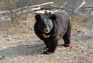 A bear at the Balkasar Bear Sanctuary in Pakistan