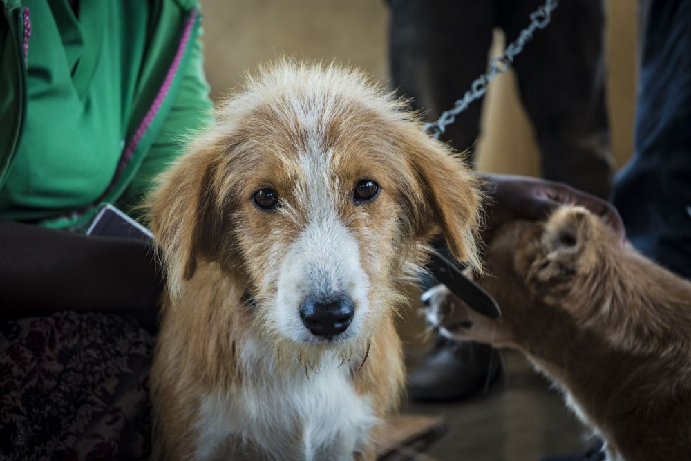 A dog awaiting vaccination in Ghana.
