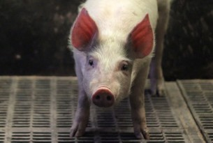 Piglet on the floor with his eyes shut on factory farm - Raise Pigs Right - World Animal Protection