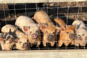 pigs, piglets, farming, pigs in farming
